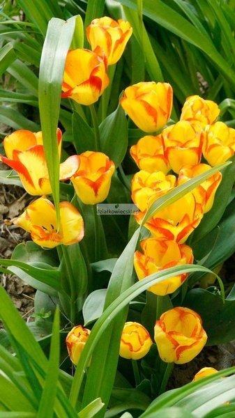 Tulipan triumph Outbreak (5 szt.) (Tulip)