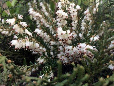 Wrzosiec krwisty Alba (Erica carnea)