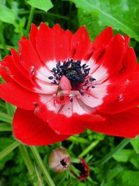Zawilec pełny Governor (5 szt.) (anemon)