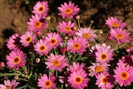 Złocień krzewiasty różowy (Argyranthemum)